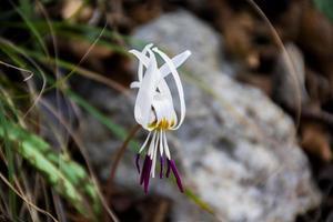 en vit erythronium dens-canis i underväxt foto