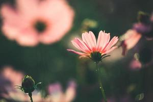 kosmos blommor vackra foto