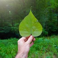 hand med gröna blad som känner naturen foto
