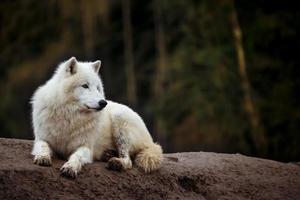porträtt av arktisk varg foto