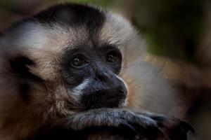 porträtt av gibbon foto