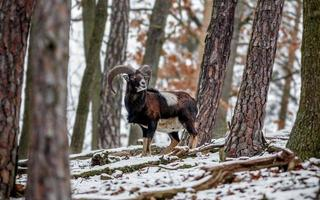 mufflon i naturen foto