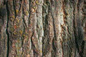 bakgrundsstruktur av stammen på ett stort träd i skogen foto