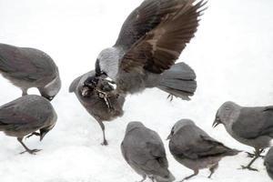 jackdaw fågel aggression foto