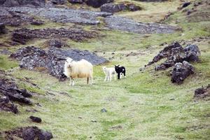 isländsk tacka med lamm foto