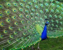 manlig påfågel som visar svansfjädrarna foto