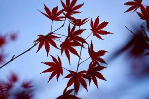 röda trädblad under höstsäsongen foto