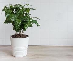 unga skott av ett kaffeträd planterat i en kruka foto