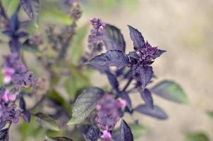 ypung lila basilikablad och blommor på våren foto