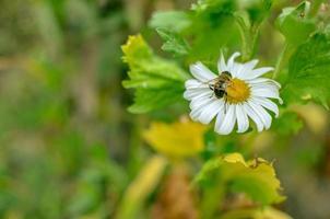 vit aster blommar kamomill eller tusensköna på blomsterrabatt med insekt foto