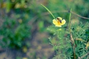 gul eschscholzia på ängcloseupen med blured bakgrund med ett bi foto