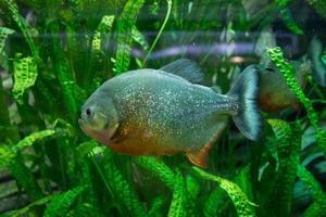 akvarium med piranha tropisk fisk piranha simmar bland gröna alger foto