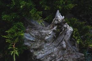 gammal ruttna stock i den vilda skogen foto
