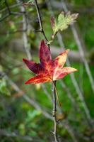 röda lönnlöv under höstsäsongen foto