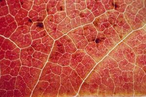 rött lönnlöv i höstsäsong röd bakgrund foto