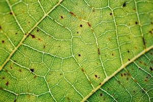 gröna blad vener grön bakgrund foto