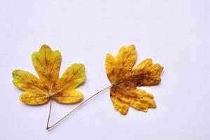 gula löv på den vita bakgrunden foto