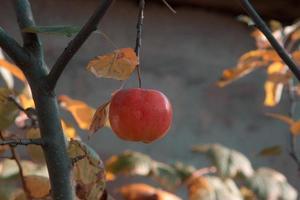 nytt rå rött äpple på filialen i trädgården på solig dag foto