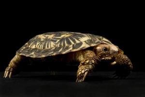 pannkaka sköldpadda malacochersus tornieri foto