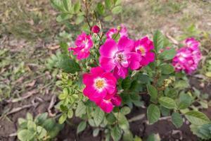 vackra rosa rosblommor och gröna blad blommar i trädgården foto