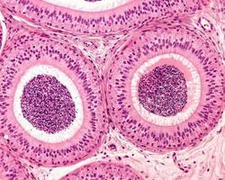 pseudostratifierad epitel epididymis foto