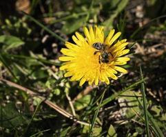 ett bi dansar på en maskrosblomma foto