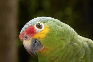 närbild porträtt av en grön papegoja foto