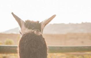 detalj av anonym lama som tittar över staketet foto