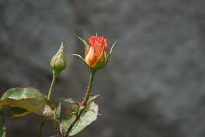 blomma frodig orange ros på en suddig grön bakgrund foto