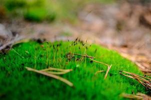 närbild av vacker grön mossa bryophyta foto