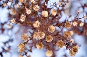 torkade blommor på snöbakgrund foto
