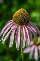 lila coneflower eller echinacea purpurea växter foto