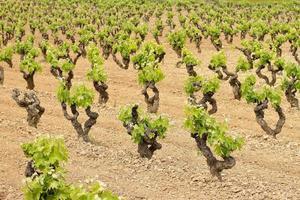 vingård fält av druvväxter foto