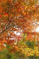 höstfärger på nagatoro saitama foto