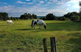 vit och svart häst foto