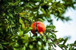 granatäpple på trädet foto