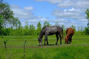 häst som betar på fältet för grönt gräs foto