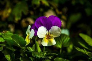 viola tricolor noll foto