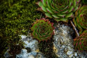 sempervivum calcareum noll foto