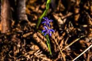 scilla bifolia en foto