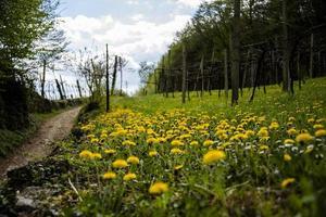 202144 montemezzo gula blommor och vinstockar foto