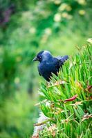 starling i sin naturliga miljö foto