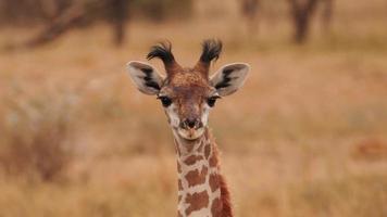 en afrikansk giraff som ser rakt ut foto