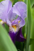violett irisblomma foto
