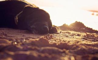 gammal svart hund som sover på stranden foto