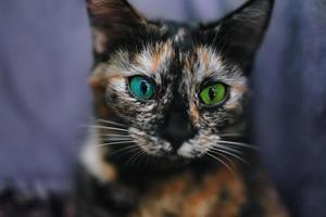 liten katt med olika färgögon foto