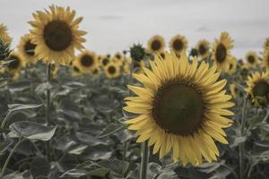 gul solros i fältet gröna blad foto