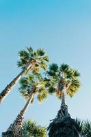 tre palmer över en djupblå himmel under en solig dag foto