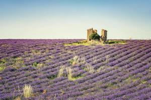 lavendel fält i Provence Frankrike foto