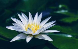 vit lotusblomma med gröna blad i dammen foto